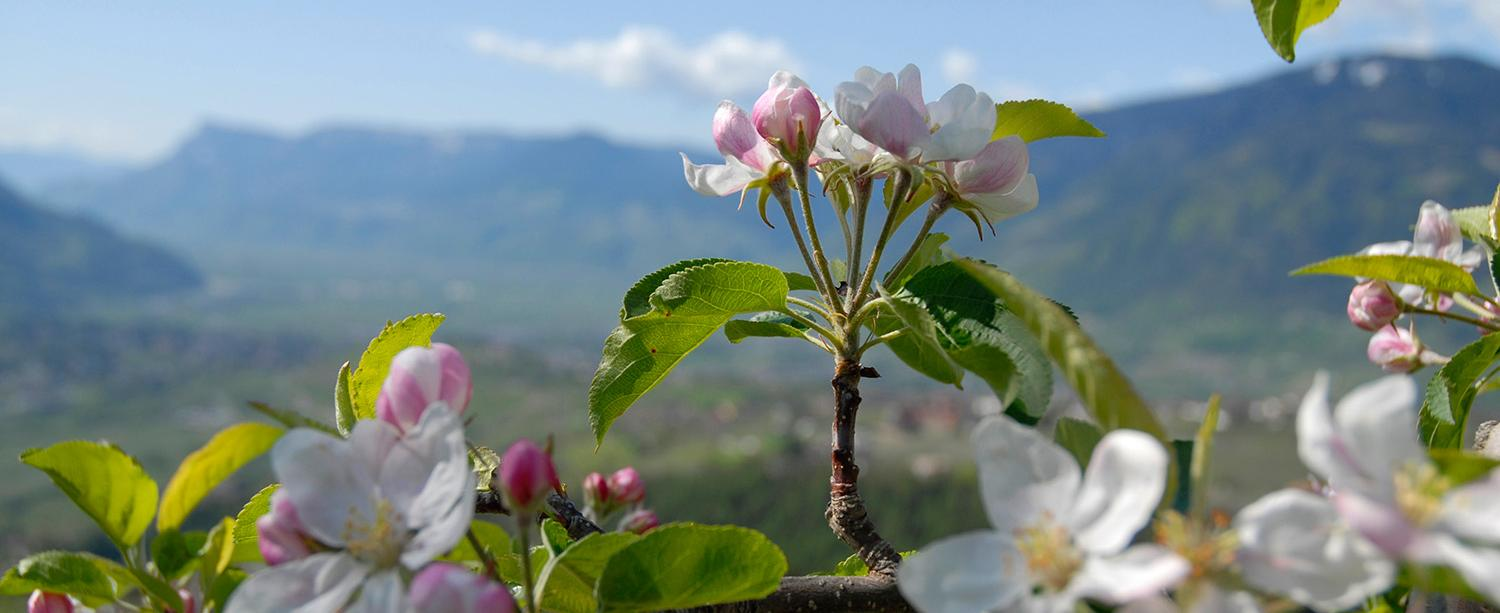 The apple blossom in spring in Dorf Tirol, South Tyrol