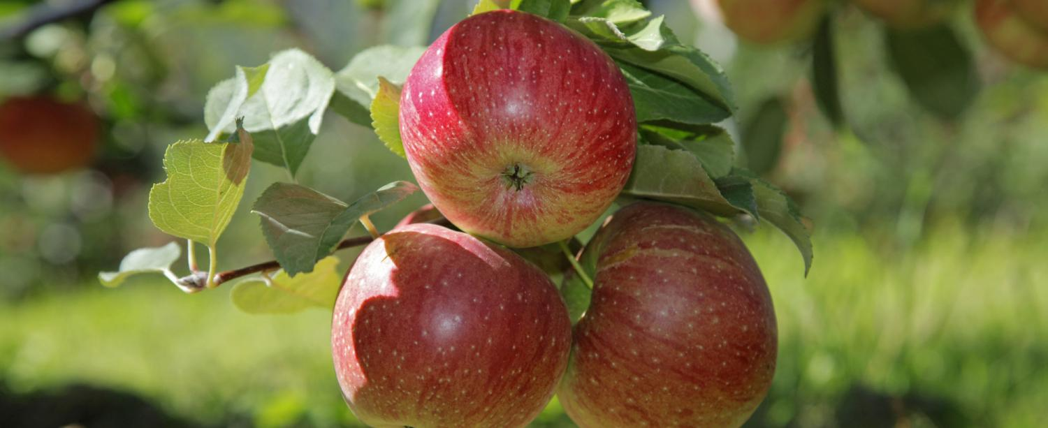 South Tyrolean apples − Apple tree